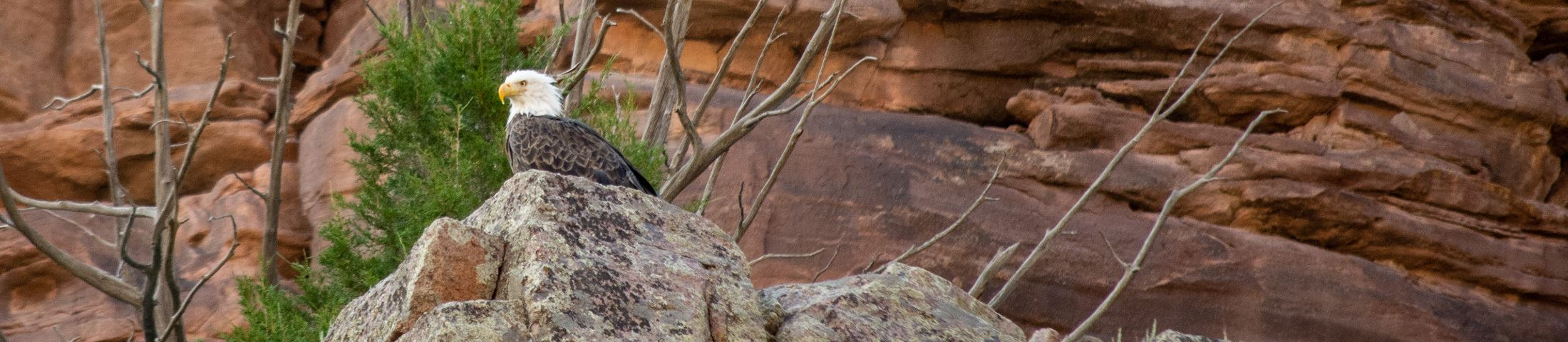 Bald Eagle on rock