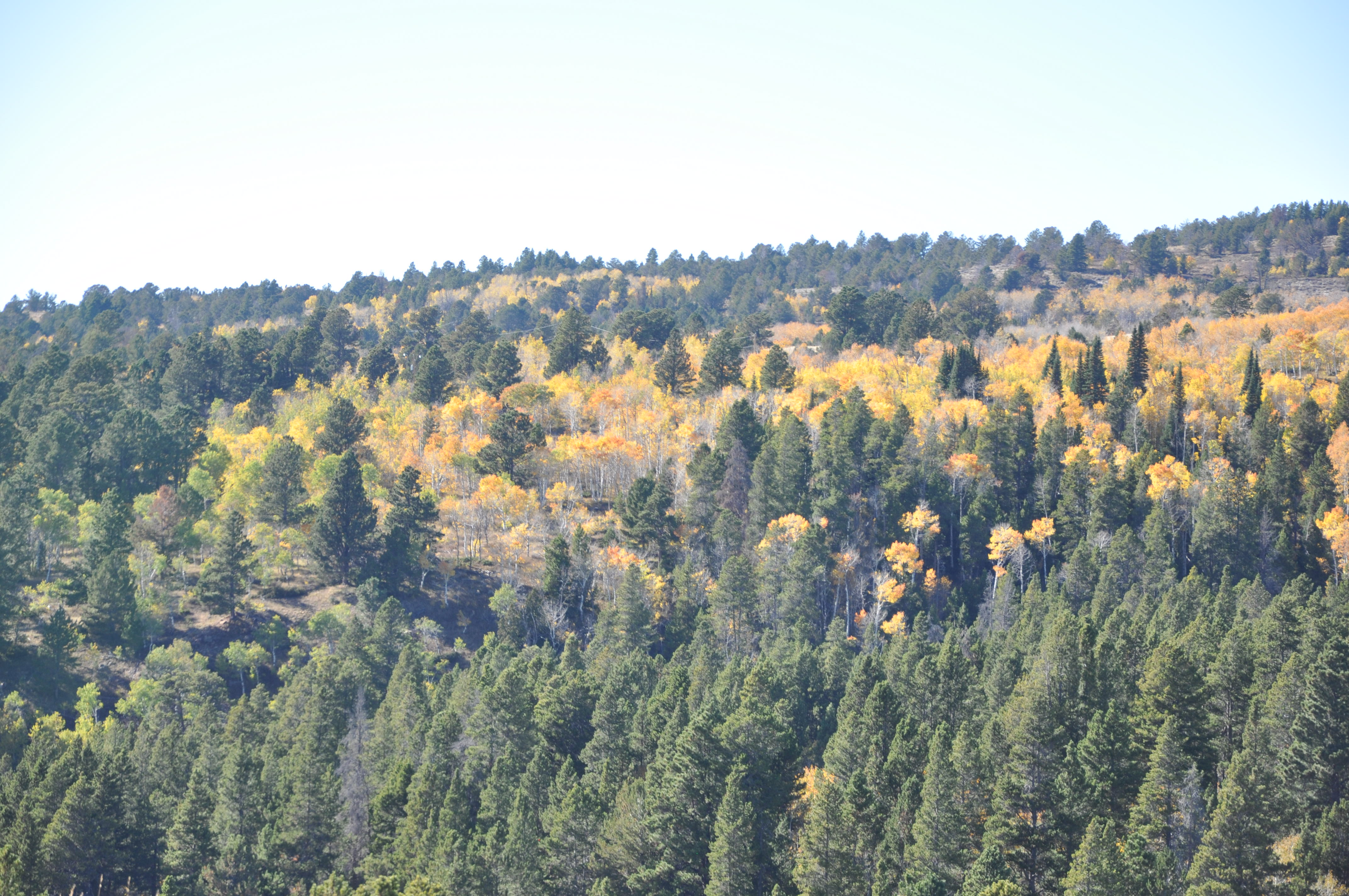 Yellow Aspen mixed in with Pine trees