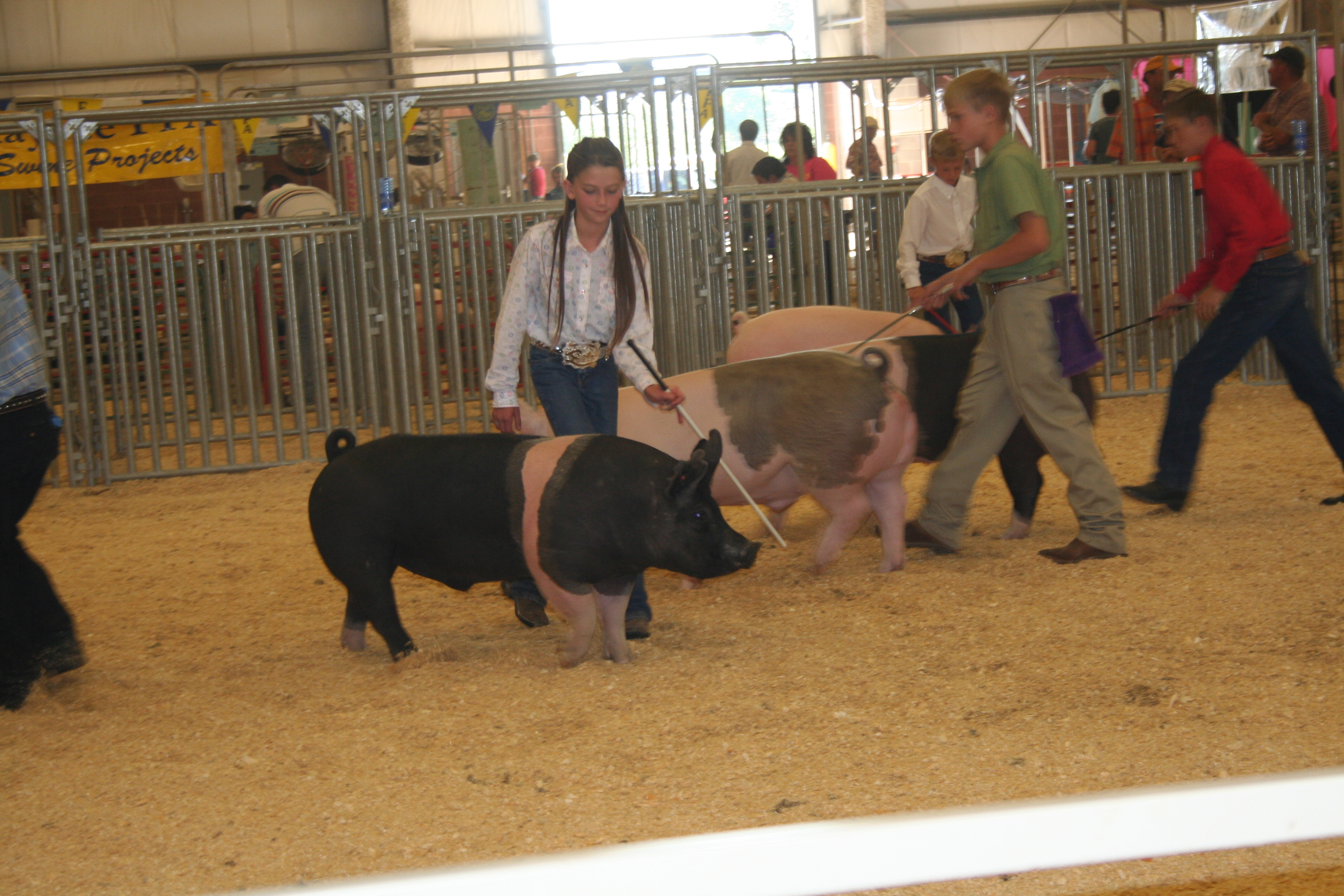 Young girl showing a pig.