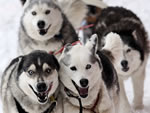 Sled Dogs Picture